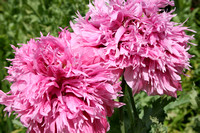 Pink Fire Dahlias