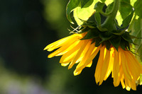 Rising Sunflower