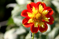 Two Toned Dahlia